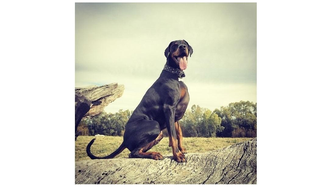 muscular-dog-0