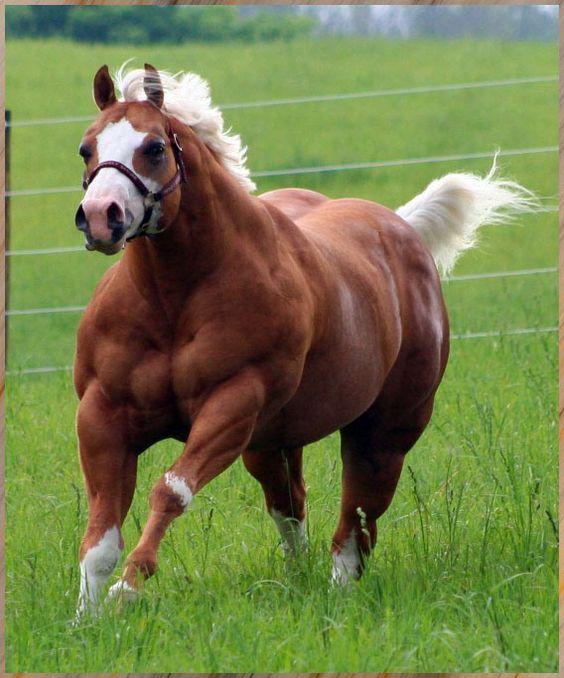 muscular-horse