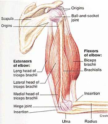 tricep-anatomy