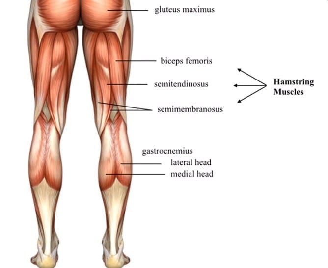 The anatomy of the hamstrings