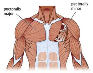 chest-anatomy