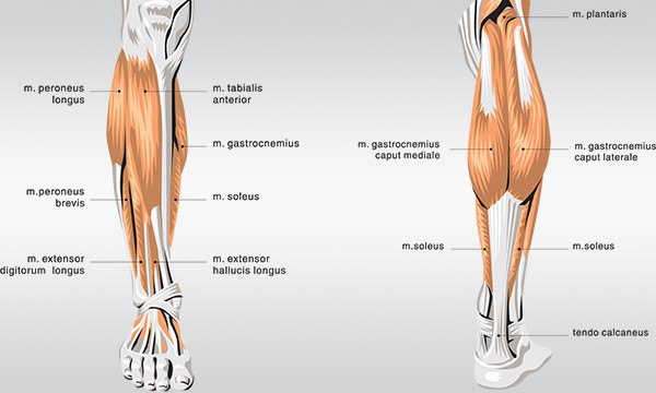 Anatomy of Calves Muscles