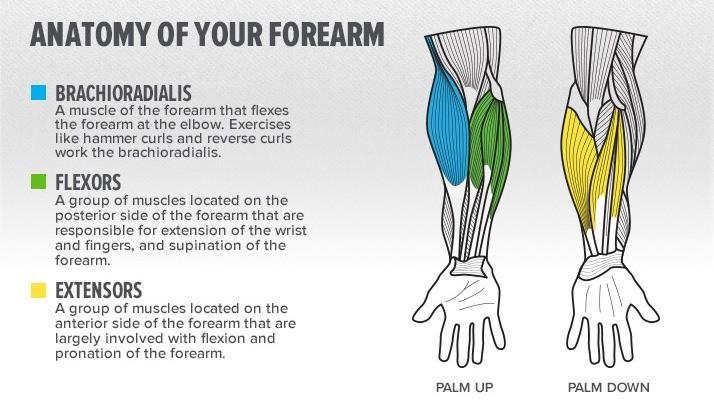 Forearm Anatomy