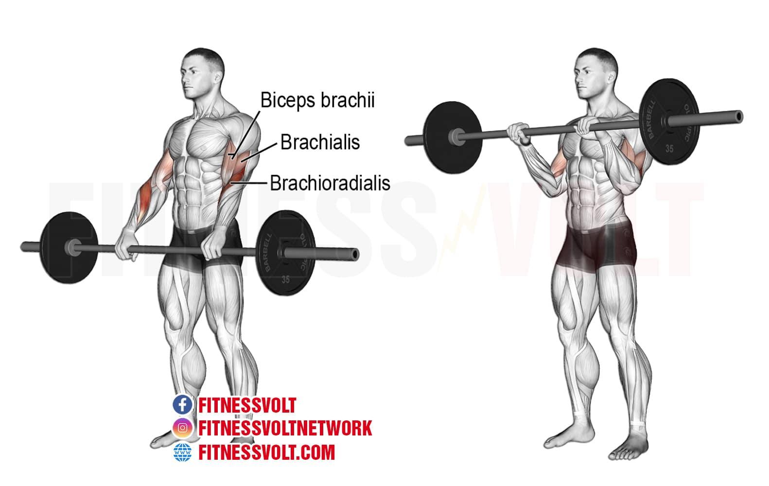 Barbell Reverse Curl (Brachioradialis, Brachialis, Biceps) – Fitness Volt