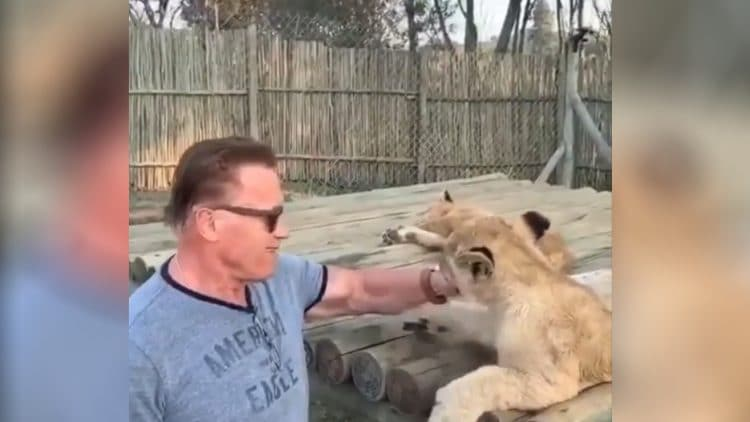 Arnold Schwarzenegger Play With Lions