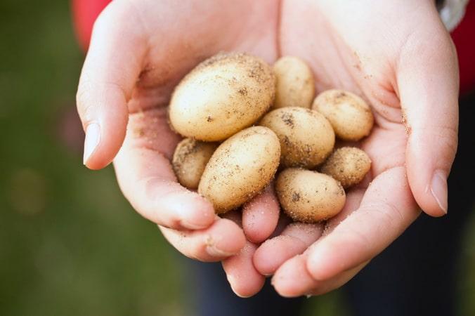 Russet vs. Creamer Potato