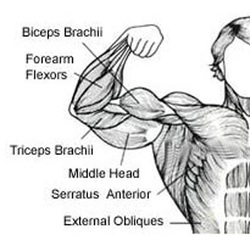Biceps Anatomy