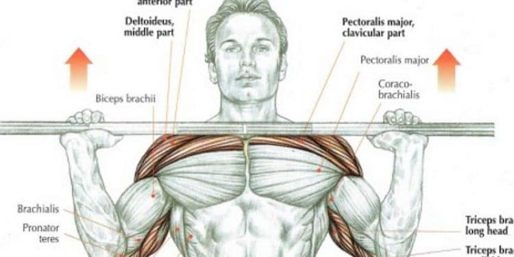 Overhead Press Anatomy