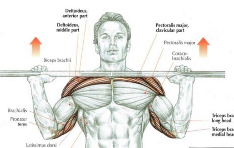Overhead Press Anatomy