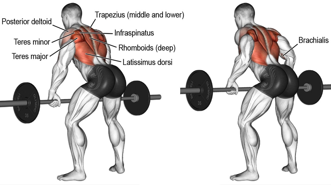 Bent Over Barbell Rows Exercise