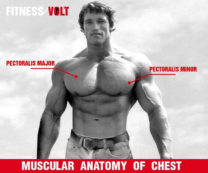 Muscular Anatomy Of Chest