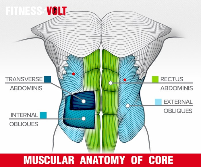 Muscular Anatomy Of Core