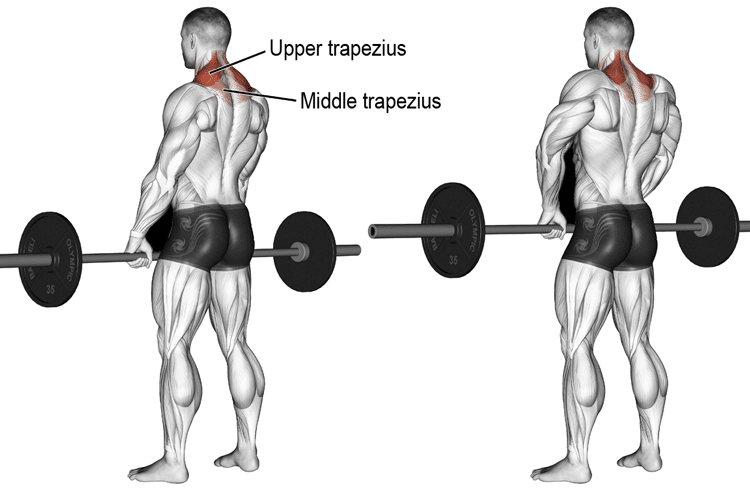 Barbell Shrug - Muscles Worked