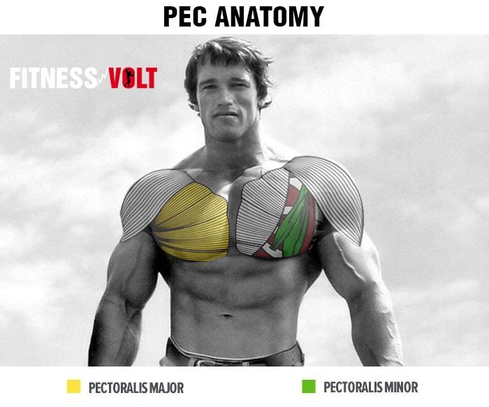 Pec Anatomy