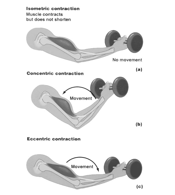 Eccentric Vs. Concentric training
