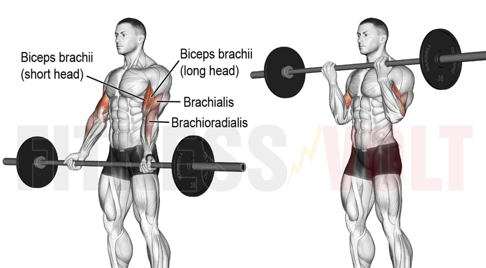 Biceps Curls With Straight Bar