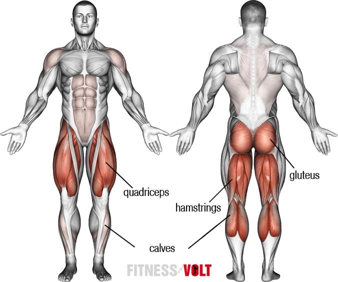 Anatomie du bas du corps