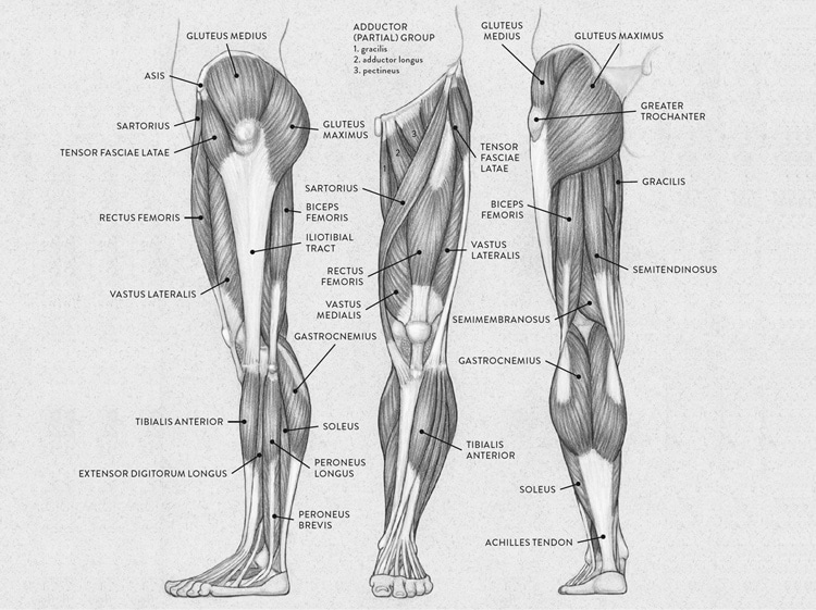 Lower Body Muscle