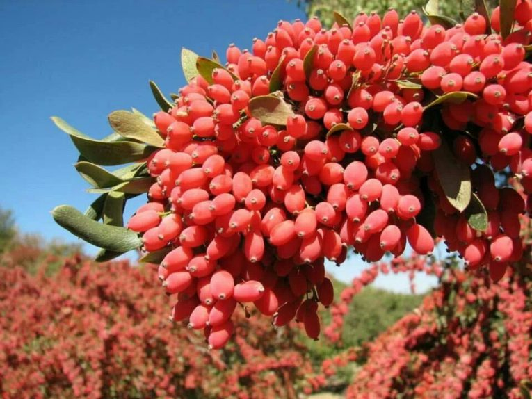 Berberine on Plant