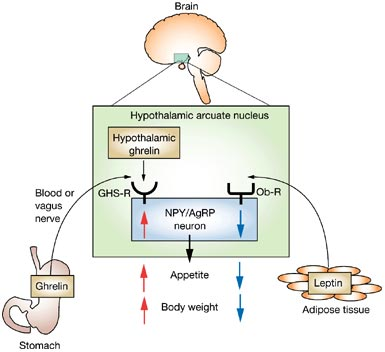Leptin And Ghrelin