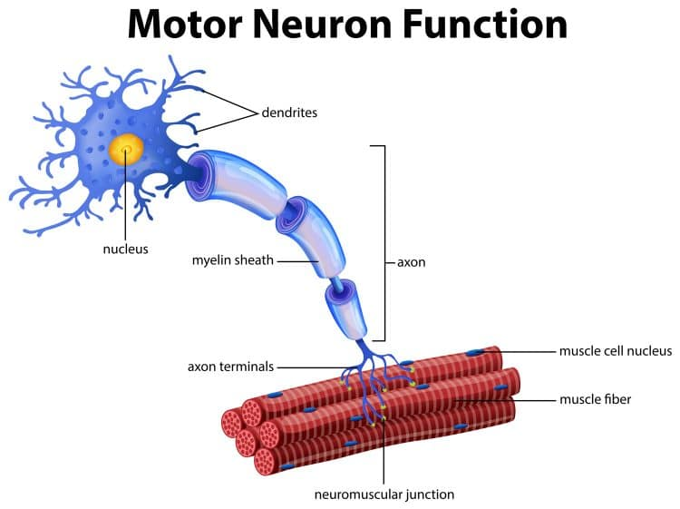 Motor Neuron Function