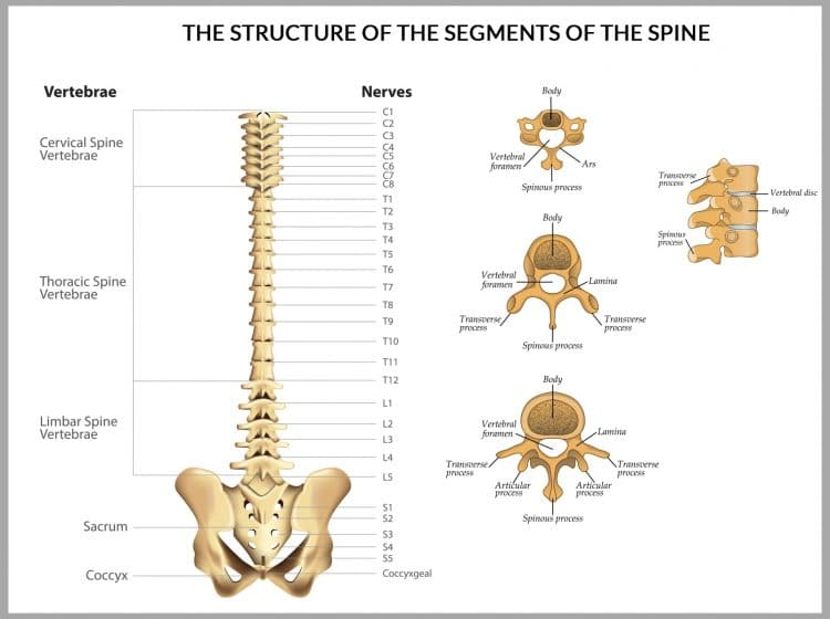Segments Of The Spine