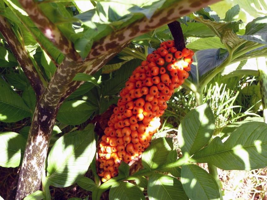 Amorphophallus Konjac Fruit