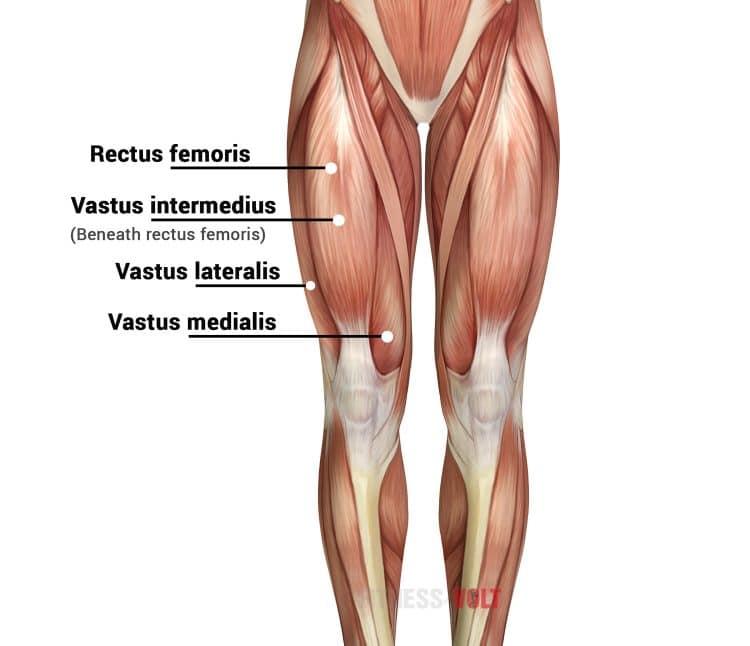 Quad Muscles Thigh Anatomy