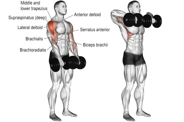 Dumbbell Upright Row Muscles Worked