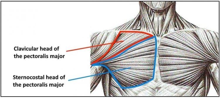 Chest Anatomy