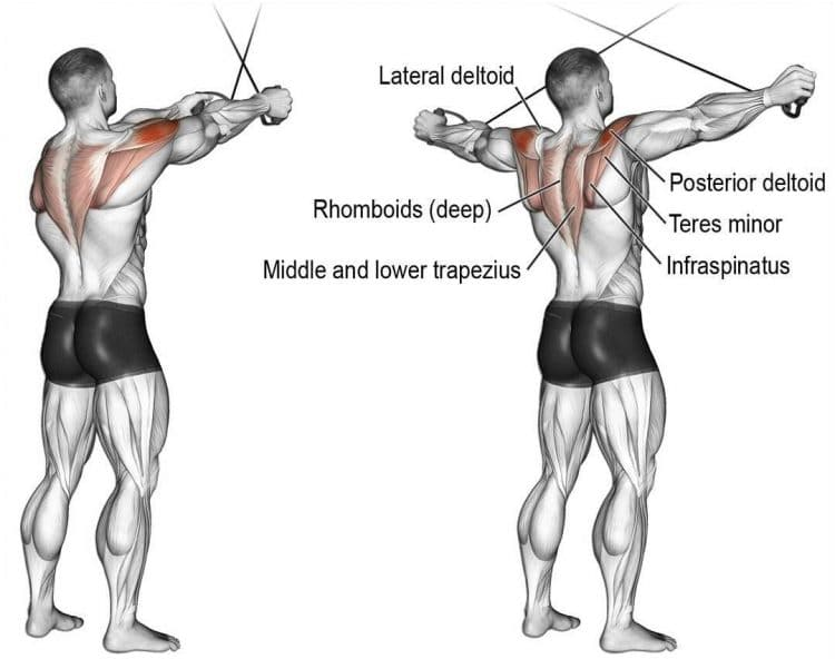 Cable Reverse Flys Muscle Worked