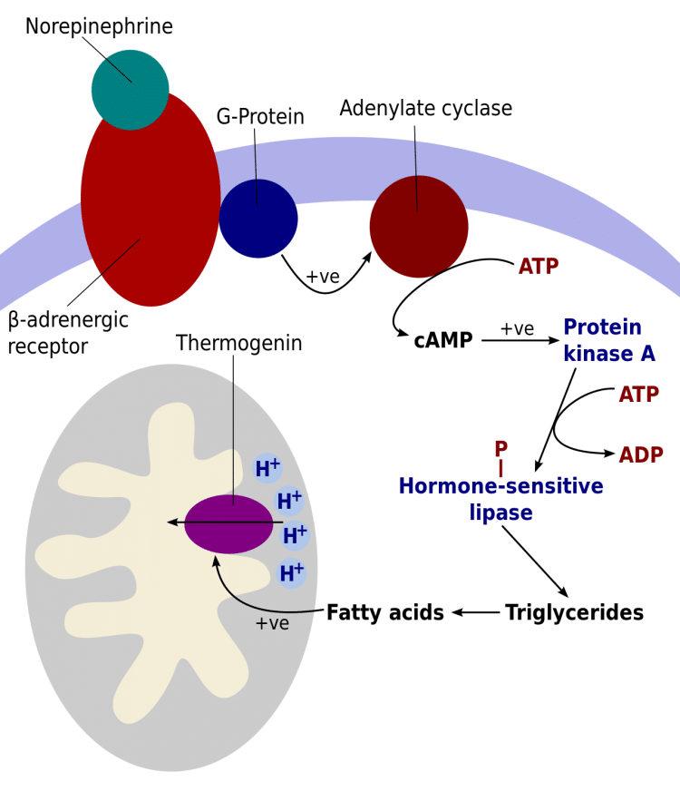 Activation cascade of thermogenin in cells of brown adipose tissue