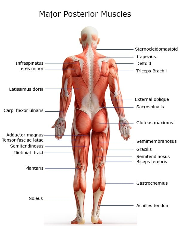 Chart Of Major Posterior Muscles