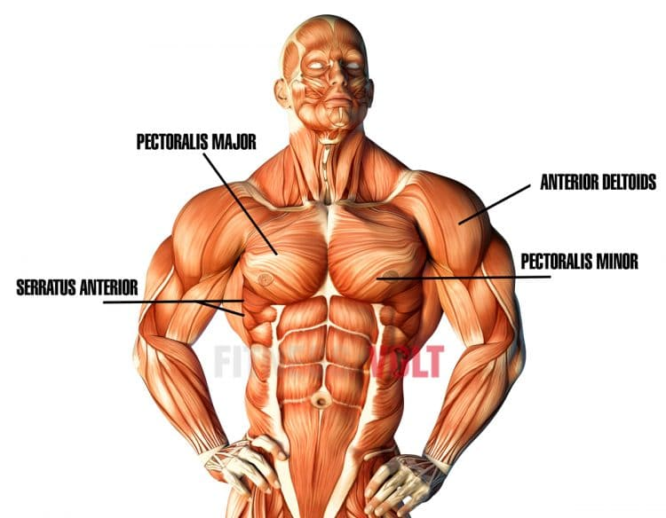 Pec Deck Muscles Worked