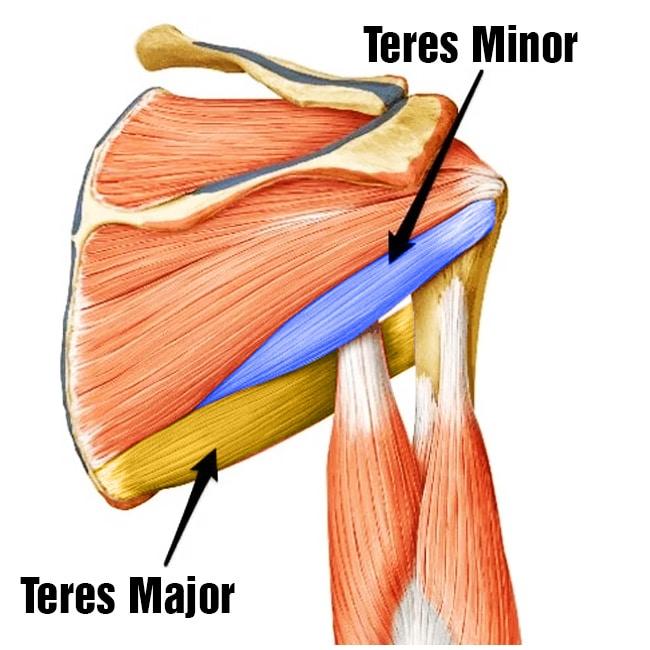 Teres Minor And Teres Major