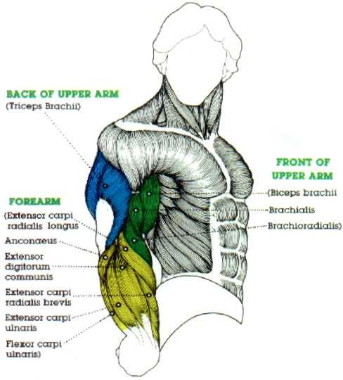 Biceps 21s Anatomy