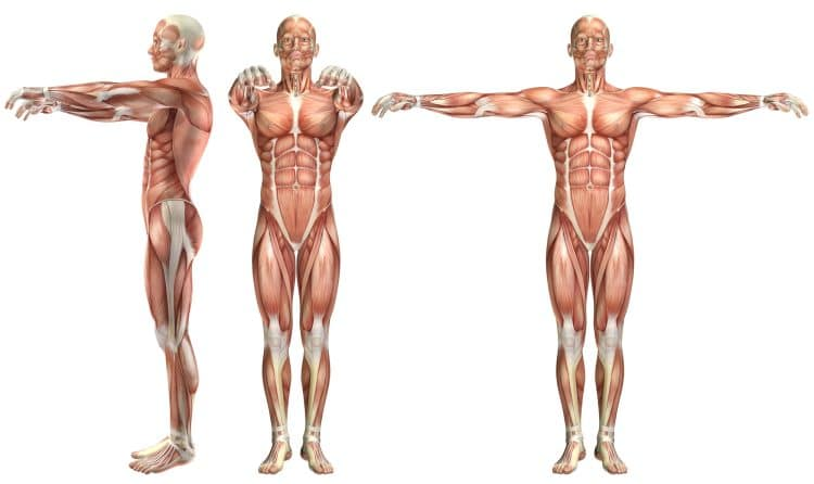 Chest And Shoulder Anatomy