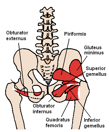 Posterior Hip Muscles
